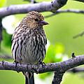 Pine Siskin Finch Baby by Karon Melillo DeVega