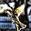 Pine Siskin In Flight by Don Mann