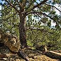 Pine Tree And Rocks by Jill Battaglia