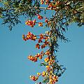 Pine Tree With Berries by Barry Doherty
