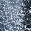 Pine Trees Covered In Snow, Les Arcs by Axiom Photographic