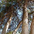 Pine Trees by Kume Bryant