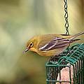 Pine Warbler 3 by Randy Matthews