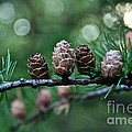 Pinecone Party Line by Susan Herber