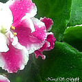 Pink African Violets And Leaves by Nancy Mueller