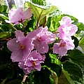 Pink African Violets by Will Borden