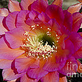 Pink And Orange Cactus Flower by Jim And Emily Bush