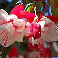 Pink And Red Fuchsia by Amy Fose