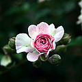 Pink And White Flower by Jessica Buckler