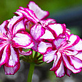 Pink And White Geraniums by Ronda Broatch