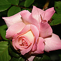 Pink And White Rose by Ericamaxine Price