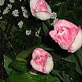 Pink And White Tulips In The Rain by Neena Plant