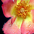Pink And Yellow Rose by Dave Mills