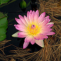 Pink And Yellow Water Lily by Mark Holden