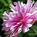 Pink Anemone From The St Brigid Mix by J McCombie