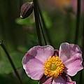 Pink Anemone by Living Color Photography Lorraine Lynch