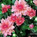 Pink Autumn Mums by Kathie McCurdy