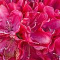Pink Azalea by Steve Purnell