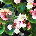 Pink Begonias by Elaine Plesser