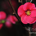 Pink Blossom In The Evening by Kaye Menner