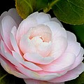 Pink Camellia Flower by P S