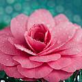 Pink Camellia by Melissa Wyatt