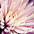 Pink Chrysanthemum by Vicki Field