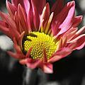 Pink Chrysanthemum by Yhun Suarez