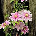 Pink Climatis Flower by Bonnie Willis