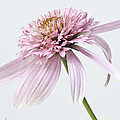 Pink Cone Flower by Fran Gallogly