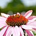 Pink Cone Flower by Susan Herber