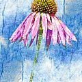 Pink Coneflower On Blue by Carol Leigh