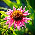Pink Coneflower by Steve McKinzie