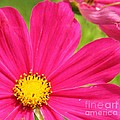 Pink Cosmo by Rebecca  Coors