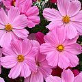 Pink Cosmos by Doug Lloyd