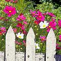 Pink Cosmos Flowers And White Picket Fence by Elaine Plesser