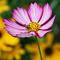 Pink Cosmos Picotee And Bee by Kathy Clark