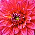 Pink Dahlia by Susan Herber