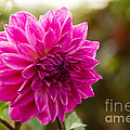 Pink Dahlia by Syed Aqueel