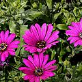 Pink Daisy's by Doug Lloyd