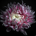 Pink Dhalia by Flower photography by Viorica Maghetiu