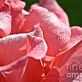 Pink Diamond Dust by Susan Herber