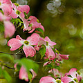 Pink Dogwood Blooms by Lori Coleman