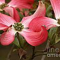 Pink Dogwood by Mike Nellums