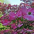 Pink Dogwood  by Nancy Patterson