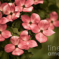 Pink Dogwood by Venetta Archer