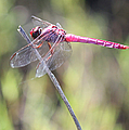 Pink Dragonfly In The Marsh by Carol Groenen
