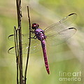 Pink Dragonfly With Sparkly Wings by Carol Groenen