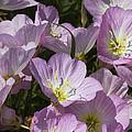 Pink Evening Primrose Wildflowers by Kathy Clark