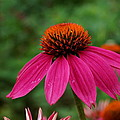 Pink Flower by Alan Hutchins